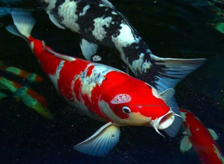 The Koi Fish Legend